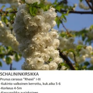 Kirsikka Schalininkirsikka 150-200cm