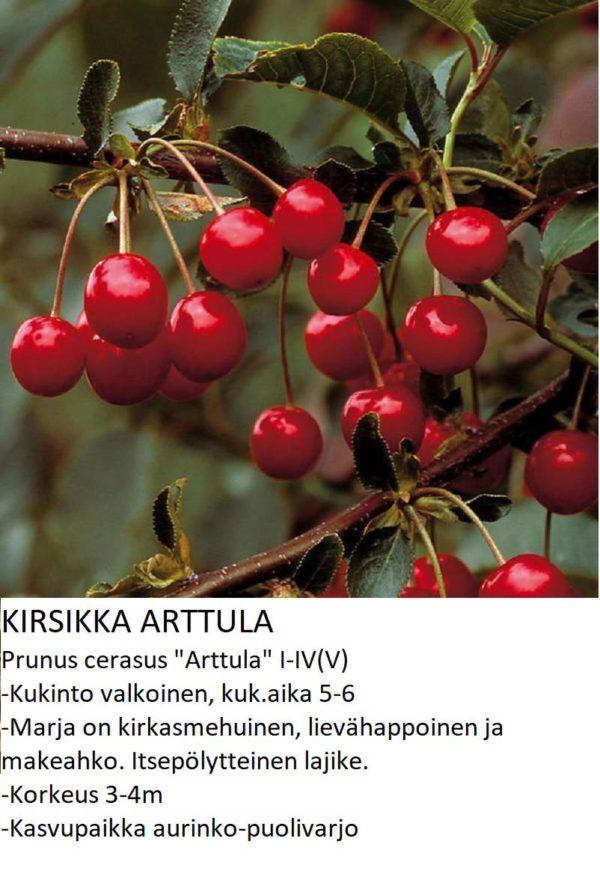 Kirsikka arttula