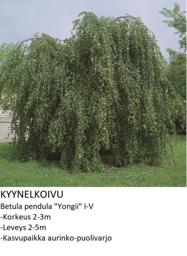 Koivu Kyynelkoivu 150-200cm