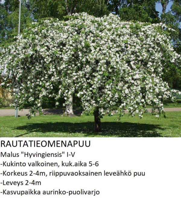 Koristeomenapuu Rautatieomenapuu hyvingiensis