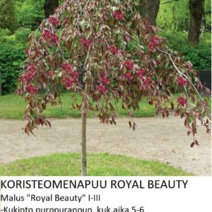 Koristeomenapuu royal beauty