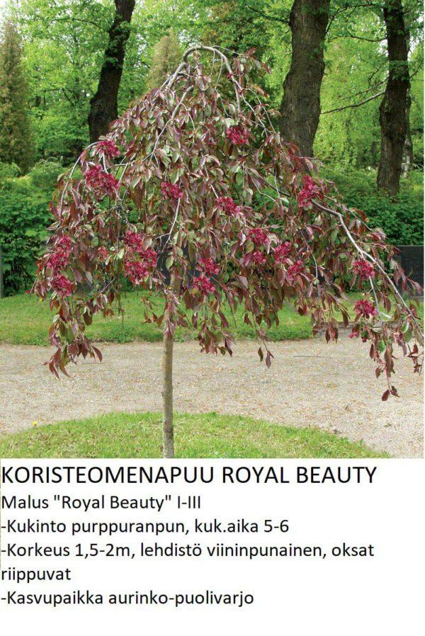 Koristeomenapuu royal beauty
