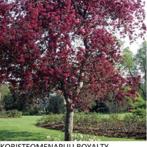Koristeomenapuu royalty