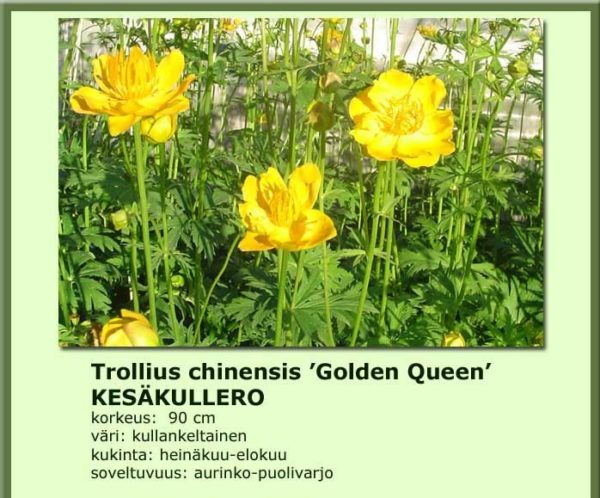 Kullero kesäkullero golden queen