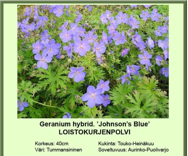 Kurjenpolvi johnsons blue