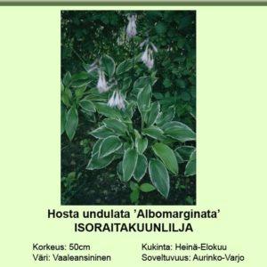 Kuunlilja isoraitakuunlilja albomarginata