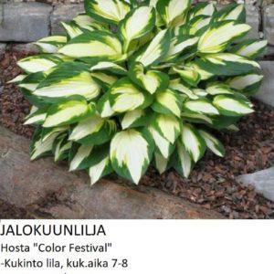 Kuunlilja jalokuunlilja color festival