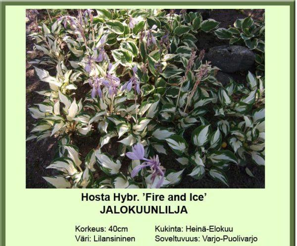 Kuunlilja jalokuunlilja fire and ice