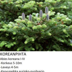 Kuusi Koreanpihta