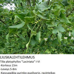 Lehmus Liuskalehtilehmus 150-250cm