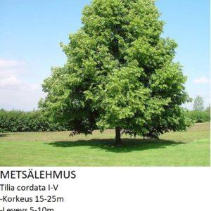 Lehmus Metsälehmus 150-250cm
