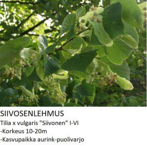 Lehmus Siivosenlehmus 150-250cm