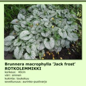 Lemmikki rotkolemmikki jack frost