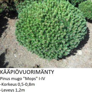 Mänty Kääpiövuorimänty mops 20-25cm