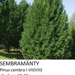 Mänty Sembramänty 120-150cm