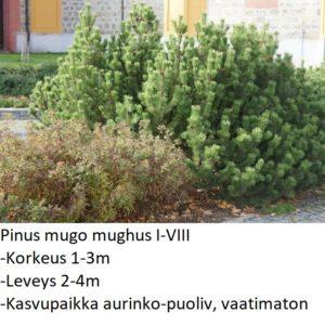 Mänty Vuorimänty 30-40cm