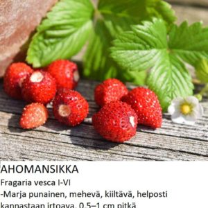 Mansikka Ahomansikka