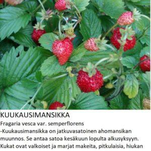 Mansikka Kuukausimansikka