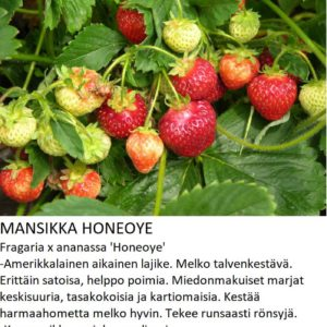Mansikka honeoye