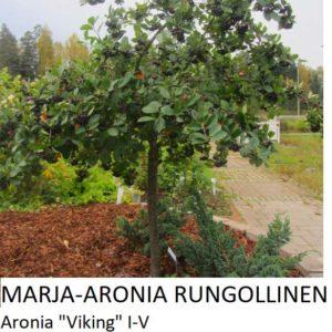 Marja-aronia rungollinen 150-200cm