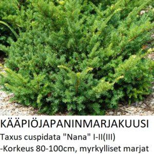 Marjakuusi Kääpiöjapaninmarjakuusi nana 30-40cm