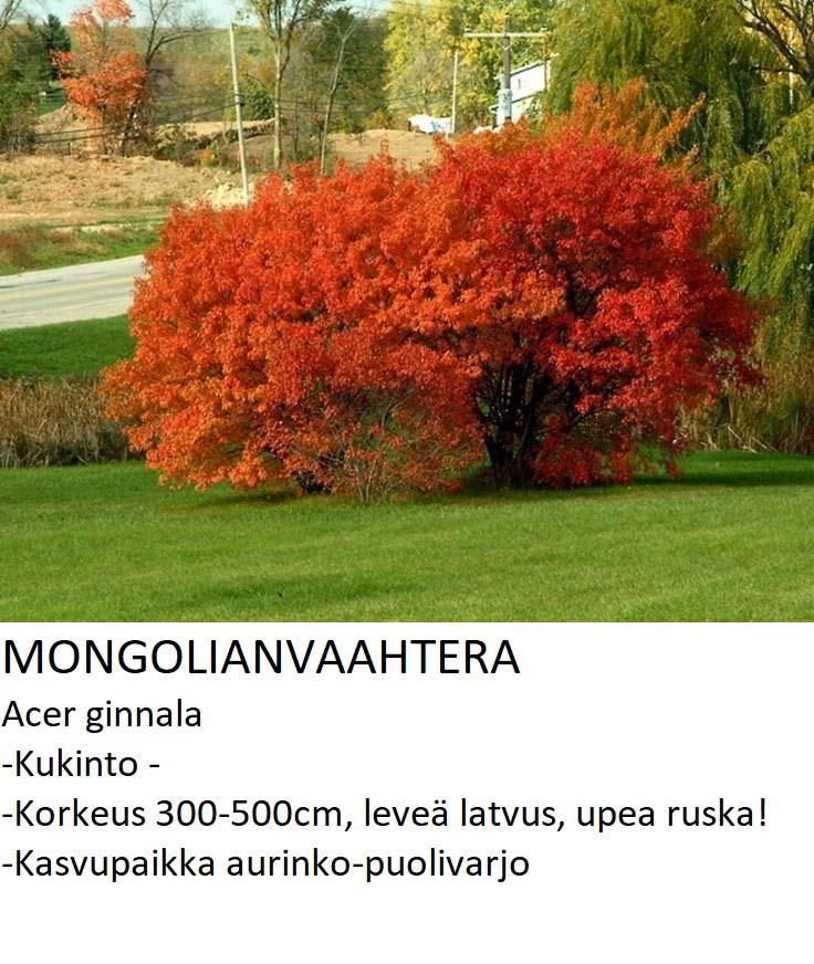 Mongolianvaahtera