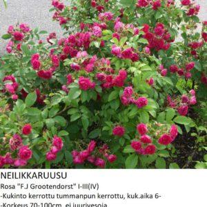Neilikkaruusu f.j.grootendorst