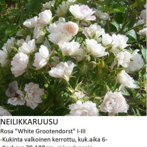 Neilikkaruusu white grootendorst