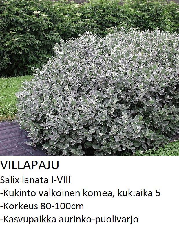 Paju Villapaju