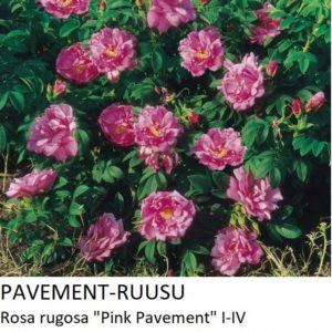 Pavementruusu pink pavement