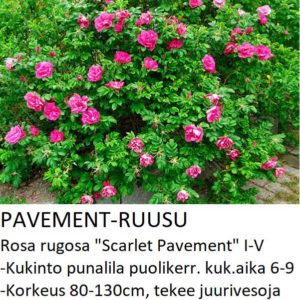 Pavementruusu scarlet pavement