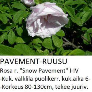 Pavementruusu snow pavement