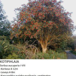 Pihlaja Kotipihlaja 150-250cm
