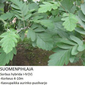 Pihlaja Suomenpihlaja 150-250cm
