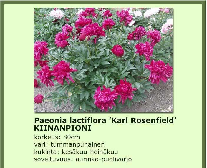 Pioni jalopioni karl rosenfield