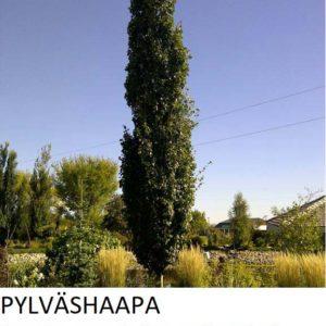 Pylväshaapa 150-250cm