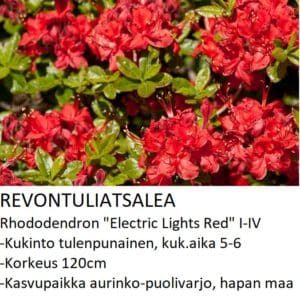 Revontuliatsalea electric lights red