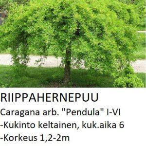 Riippahernepuu Riippahernepuu pendula 120-150cm