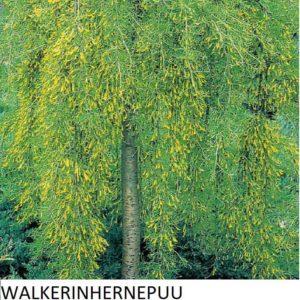 Riippahernepuu Walkerinhernepuu 100-150cm