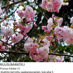 Ruusumanteli 100-120cm