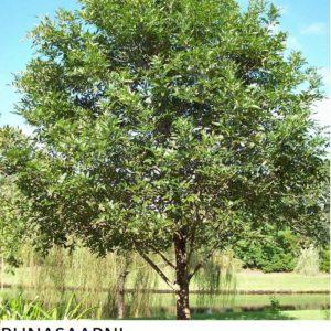 Saarni Punasaarni 150-250cm