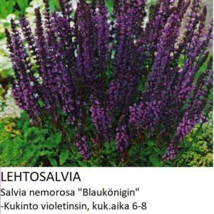 Salvia Lehtosalvia böauköning