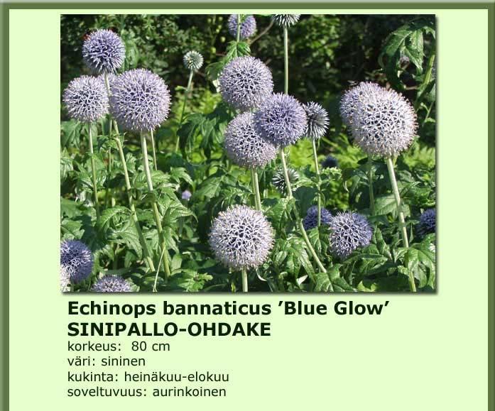 Sinipallo-ohdake blue glow